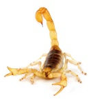 desert-hairy-scorpion