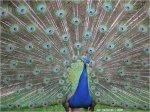 peafowl_BC02